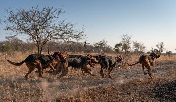 кучета спасяват носорози